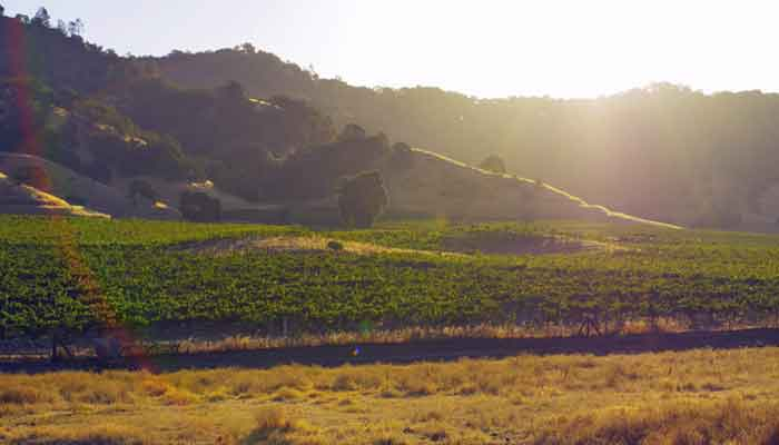 A vineyard and the hillside